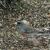 Dark-eyed Junco  - Gray-headed Form