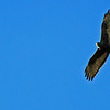Zoned-tailed Hawk