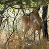 Couse's Deer
