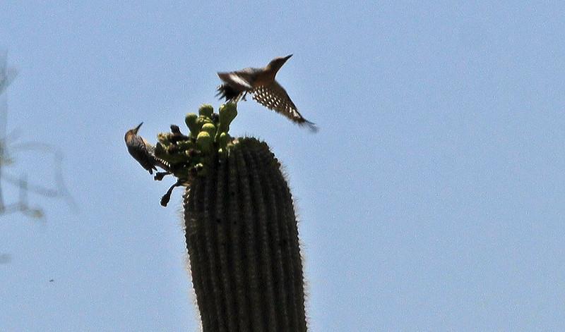 Gila Woodpecker on Saguaro - Saguaro National Park (West)