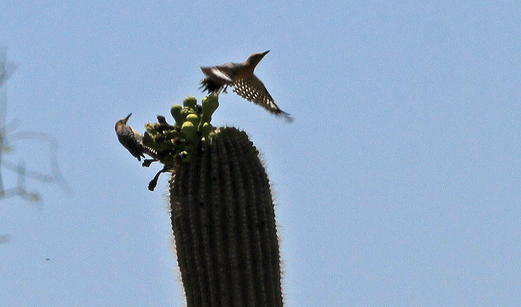 Gila Woodpecker on Saguaro - Saguaro National Park (West)