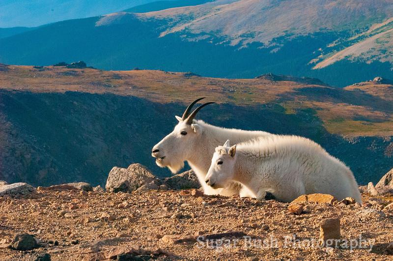 Mountain Goats, Mt. Evans, Colorado