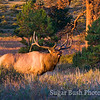 Bugling Elk, Rocky Mountain National Park