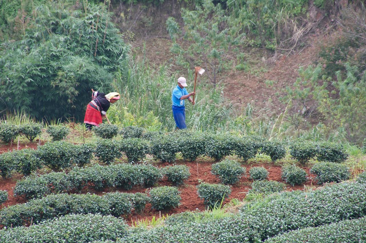 Cultivating Tea