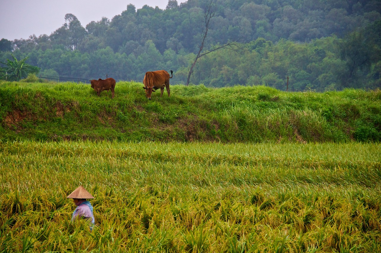 Harvesting rice, cattle in the background.