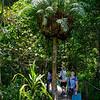 Epiphyte -- Basket Fern