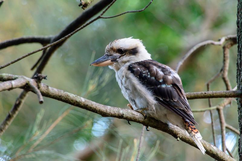 Kookaburra in the Park