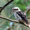 Kookaburra in the Park