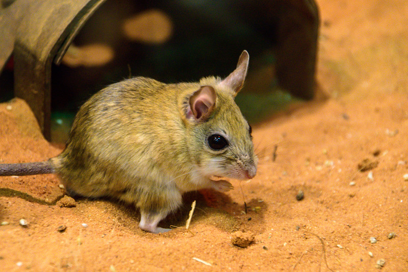 Spinifix Hopping Mouse
