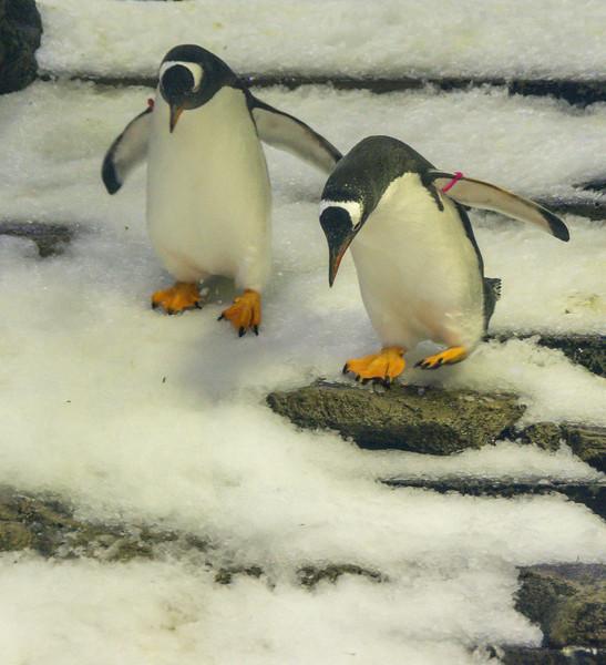 Penguins descending Steps