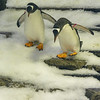 Penguins descending Steps