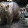 Common Wombat.