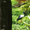 Black-necked Stork, really cool.