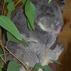 Older female koala at the wildlife sanctuary.