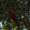 Crimson Rosella (a parrot) in the rainforest.