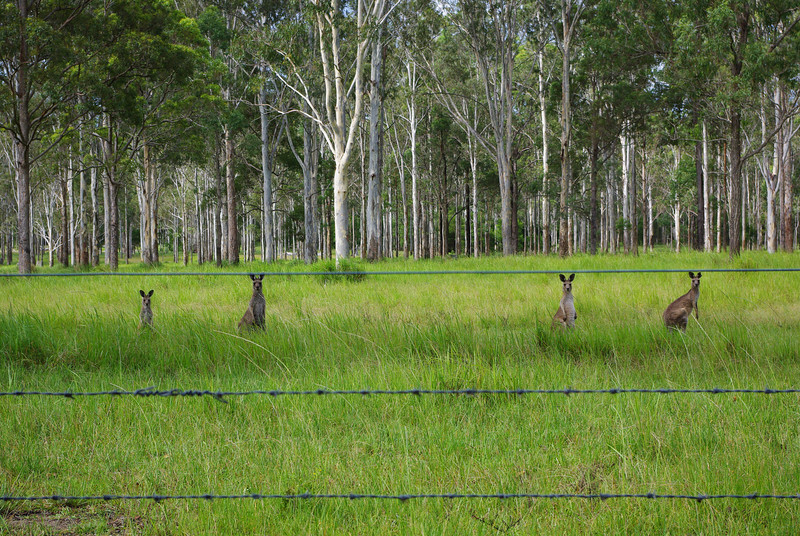 Kangaroos on the side of the highway...a split second later they jumped away!