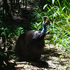 "Southern Cassowary.  Huge, ostrich-like bird with a horn (""casque"") on its head.  The purpose of the casque is a subject of much debate among biologists.  If approached, may kick your ass.  They have three toes on each foot, and the middle toe has a five-inch, ""dagger-like"" claw that can literally rip you to shreds.  The Queensland population is Endangered, due to habitat loss."