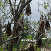 "Fruit bats, or ""flying foxes"""