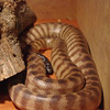 This is a Woma (Aspidities ramsayi), a stunning python species.  Endangered.