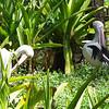 Australian Pelican.