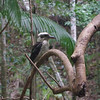 This is a Laughing Kookaburra (he was really loud - I wish I could've recorded audio).