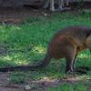Brush Wallaby.