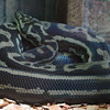 Carpet Python.  Ended up seeing one of these in the wild, later in the trip.  SO beautiful!