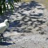 Royal Spoonbill.