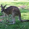 Eastern Grey Kangaroo (Macropus giganteus).