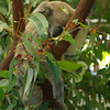 The Lone Pine Koala Sanctuary - more koalas doing the cute sleepy thing.