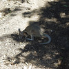 "Bridled Nailtail wallaby (Onychogalea fraenata).  Also called ""Flashjack"" because of its ability to flee at high speeds.  Conservation status: Endangered, found in semi-arid areas such as acacia shrubland.  One of three wallaby species w/a nail-like spur at the end of its tail, the function of the spur is unknown."