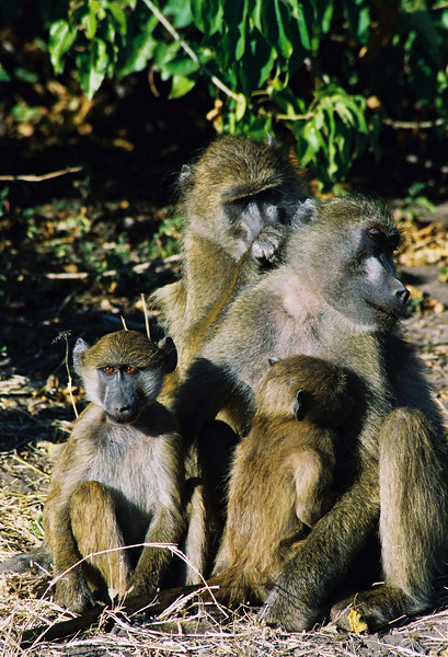 Baboon Family Unit, Chobe National Park 2007. Bostwana, Africa