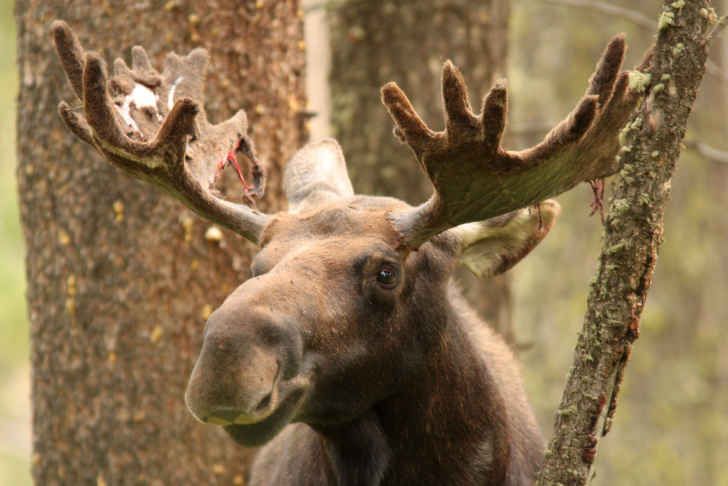 Moose poses for a portrait after rubbing some velvet off