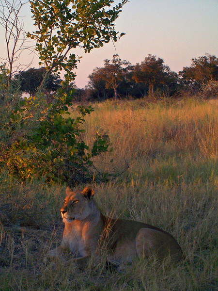 Lioness watching the sun rise.  Savuti Game Reserve Botswana, Africa 2007. Film Capture, Digital Scan.