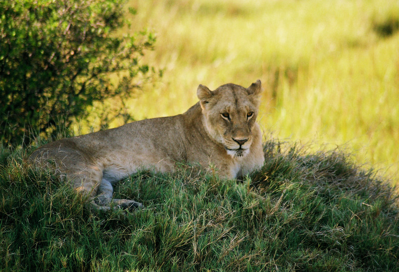 Lioness, Moremi Game Reserve. Botswana, Africa 2007. Film Capture.
