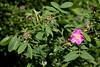 Pink dog-rose