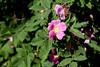 Pink dog-roses