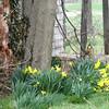 4-3-15: Abandoned daffodils, Timber RIdge