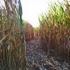 9-24-15: into the cornfield