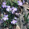 Roadside violets