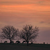 1-15-16: Two trees, and some cows, at sunrise.