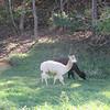 I brake for llamas. And alpacas.