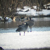 barnacle goose (with canada goose) at mill pond, egremont MA -- low quality digiscope picture