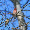 male purple finch, newcomb NY