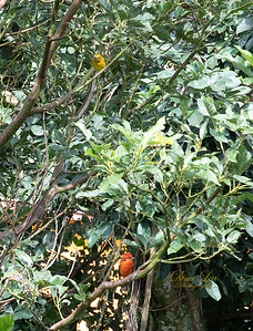 Flame-Colored Tanagers.  Male is the orange and female is the yellow.