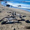Jousting Juvenile Elephant Seal  males
