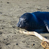 Elephant Seal face close-up