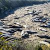 Mostly female Elephant Seals