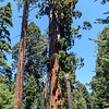 Giant Sequoia is very much thicker than other pine type trees.