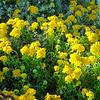 Flowers on the  Asilomar Coast